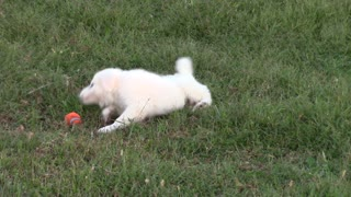 Puppy playing toss  - Video