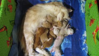 Mother cat nurses her kittens