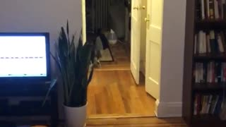 Black cat running around hallway and living room  - Video