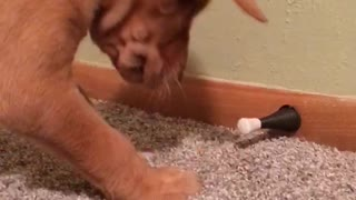 Puppy playing with door   - Video