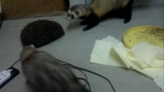 Hedgehog protected from ferrets - Video