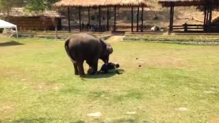 Protective Elephant Female Comes To Her Handler's Rescue - Video