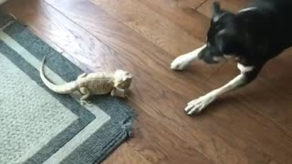 Medium dog scared of lizard