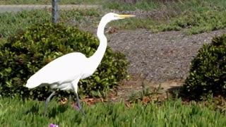 Crane, Egret or Heron? What's the difference? - Video