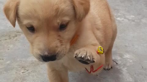 Labrador puppy is in a mood of fight.