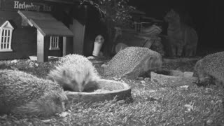 Cat joins the hedgehog dinner party