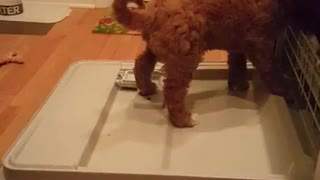 Collab copyright protection - cute brown labradoodle on dishwasher - Video