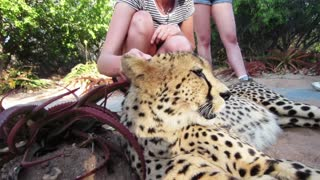 Walking with cheetahs in South Africa - Video