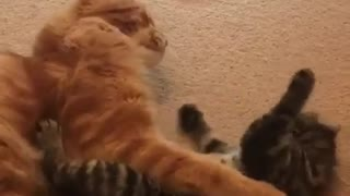 Litttle Kitten Playing With Her Big Daddy