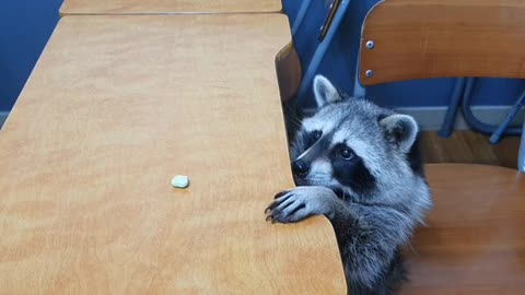 Raccoon puts all his effort into reaching treat on top of table