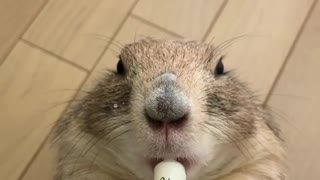Prairie dog goes totally nuts for tasty milk drink