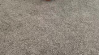 French bulldog puppy learns to squeak ball