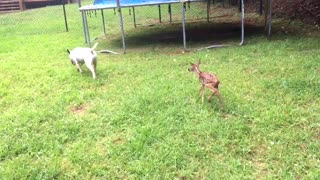 Newborn Fawn Curiously Follows Adult Bull Terrier Around The Yard