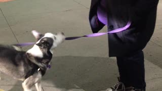 Adorable Husky dog does cute tricks  - Video