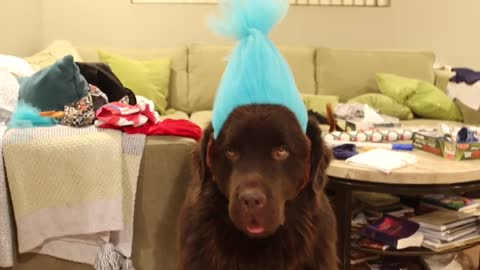 Newfoundland Is Not Too Happy With His Halloween Costume