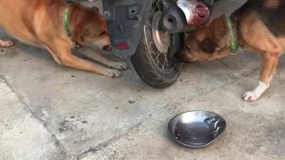 Dogs Arguing Through a Motorcycle Wheel