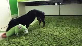 Dachshund is really excited about her new stuffed chameleon