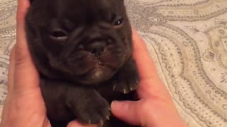 French Bulldong Puppy Belly Rub - Video