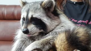 While eating tangerines, Raccoon frowns at the tangerine peel and refuses.