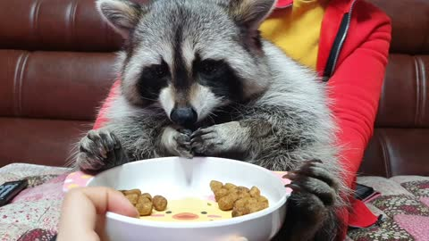 Pet Raccoon Tries To Rub Off Odor From New Diet Food
