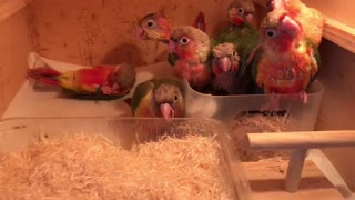 The baby parrots are playing together in a box  - Video
