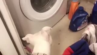 Curious Pup Head Tilts At Washing Machine - Video