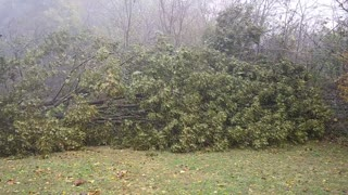 Tree Tumbles During Fierce Storm