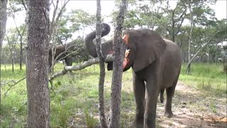 Ambitious young elephant attempts to knock down tree - Video