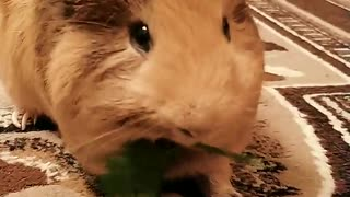 Brown hamster eating grass