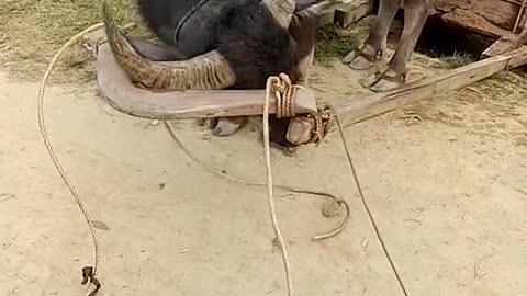 Clever Water Buffalo Saddles Up