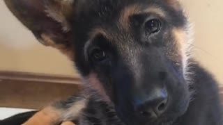 German Shepherd puppy adorably reacts to magic word