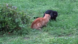 Vicious Fur Flying Rabies Possessed Cat Fight - Video