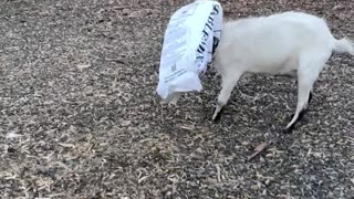 Goat Got Stuck While Snacking