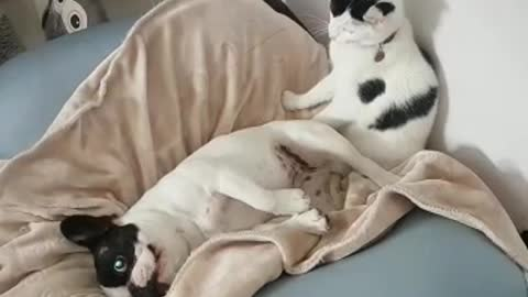 Puppy forcefully held down by cat for bath time