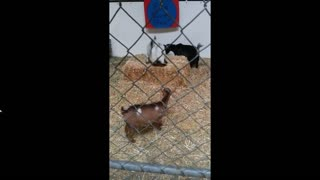 Just baby goats playing