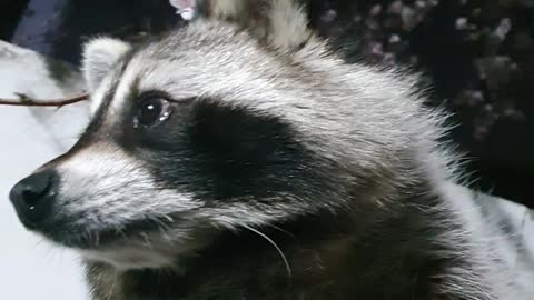 Raccoon hugged his brother at night and went out to see the cherry blossoms.
