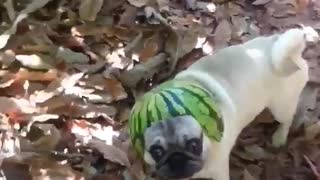 Pug modela un ridículo casco de sandía - Video