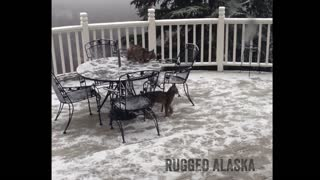 LYNX KITTENS play around the table on deck in Alaska! - Video