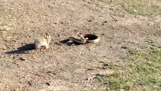 Squirrel Takes on a Snake to Defend Its Home - Video