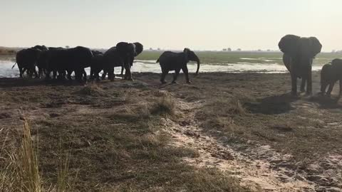 Energetic Elephant herd stepping out of the lake