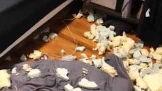 Dog Destroys Bedroom However Feels No Remorse