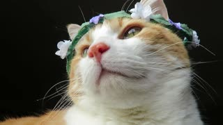 Cute cat models various flower crowns - Video