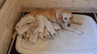 Litter of puppies swarm mom for their breakfast
