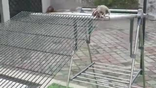 Sugar Gliders Run Around Obstacle Course - Video