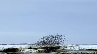 Amazing rythmic dance of flying birds