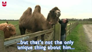 The Beer Drinking Camel - Video