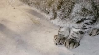 Stray Cat Feeds Himself with Paw - Video