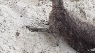 Police Rescue Confused Kangaroo from Beach - Video