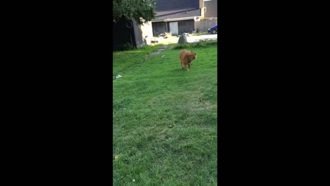 Eurasier dog catching her own tale