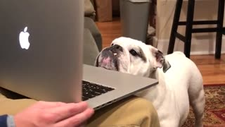 Dog watching another dog on computer